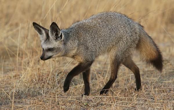 Виды-лис-Описание-особенности-названия-и-образ-жизни-видов-лисиц-19