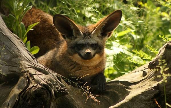 Виды-лис-Описание-особенности-названия-и-образ-жизни-видов-лисиц-20