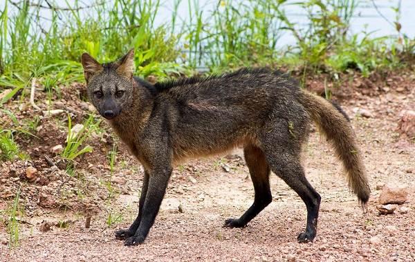 Виды-лис-Описание-особенности-названия-и-образ-жизни-видов-лисиц-23