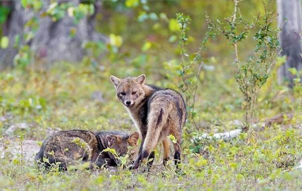 Виды-лис-Описание-особенности-названия-и-образ-жизни-видов-лисиц-24