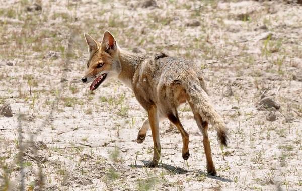 Виды-лис-Описание-особенности-названия-и-образ-жизни-видов-лисиц-25