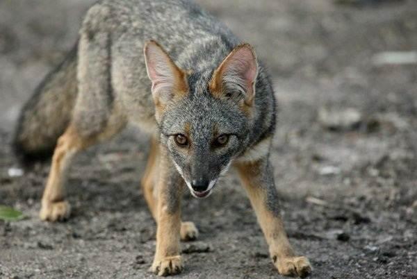 Виды-лис-Описание-особенности-названия-и-образ-жизни-видов-лисиц-28