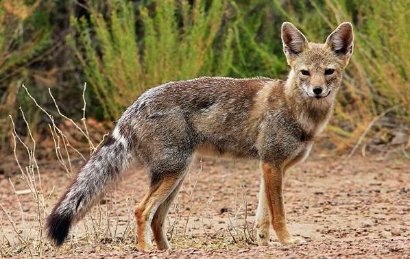 Виды-лис-Описание-особенности-названия-и-образ-жизни-видов-лисиц-29