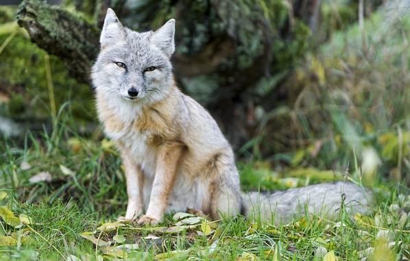 Виды-лис-Описание-особенности-названия-и-образ-жизни-видов-лисиц-5