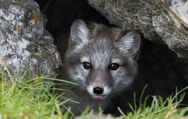 Виды-лис-Описание-особенности-названия-и-образ-жизни-видов-лисиц-7