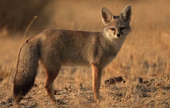 Виды-лис-Описание-особенности-названия-и-образ-жизни-видов-лисиц-8