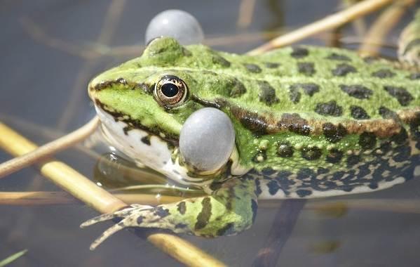 Виды-лягушек-Описание-особенности-и-названия-видов-лягушек-1