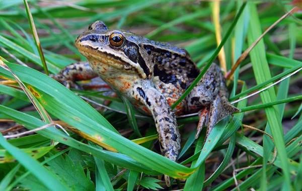 Виды-лягушек-Описание-особенности-и-названия-видов-лягушек-13