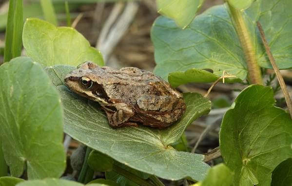 Виды-лягушек-Описание-особенности-и-названия-видов-лягушек-15