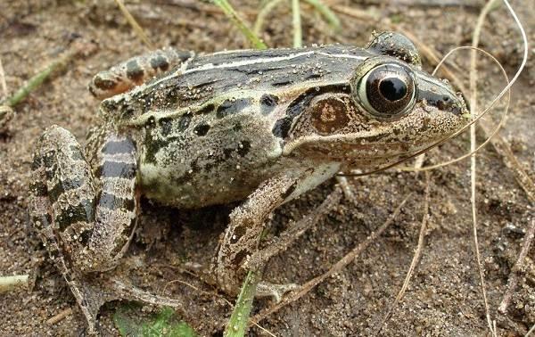 Виды-лягушек-Описание-особенности-и-названия-видов-лягушек-19