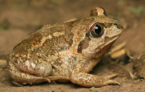 Виды-лягушек-Описание-особенности-и-названия-видов-лягушек-22
