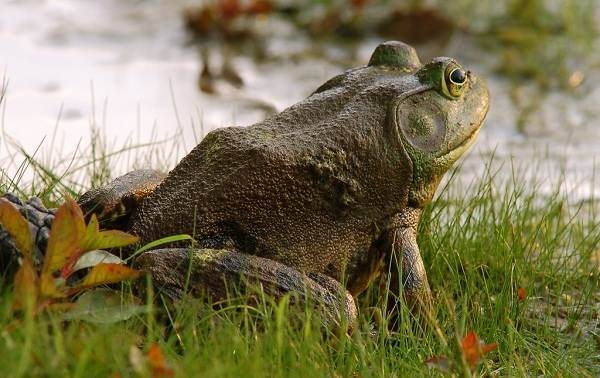 Виды-лягушек-Описание-особенности-и-названия-видов-лягушек-26