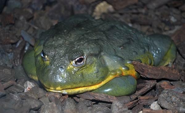 Виды-лягушек-Описание-особенности-и-названия-видов-лягушек-27