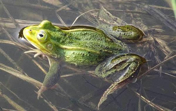 Виды-лягушек-Описание-особенности-и-названия-видов-лягушек-3