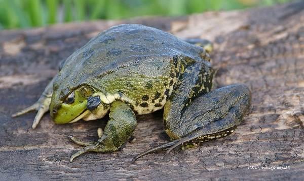 Виды-лягушек-Описание-особенности-и-названия-видов-лягушек-4