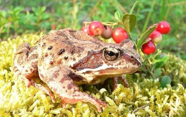 Виды-лягушек-Описание-особенности-и-названия-видов-лягушек-7
