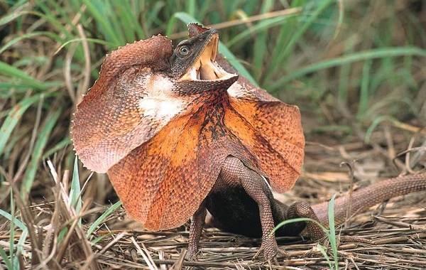 Виды-ящериц-Описание-особенности-среда-обитания-и-названия-видов-ящериц-10