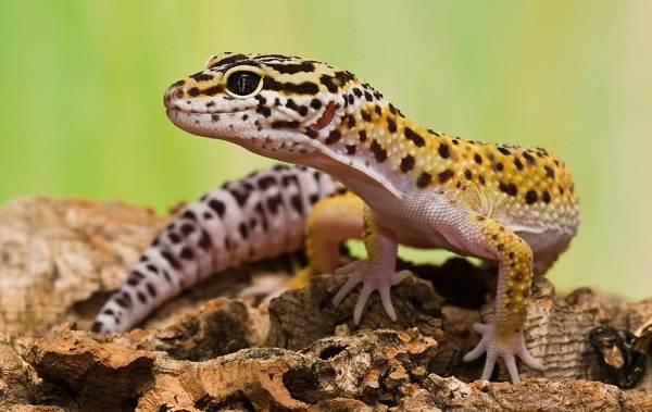 Виды-ящериц-Описание-особенности-среда-обитания-и-названия-видов-ящериц-11