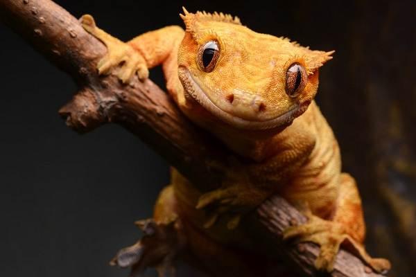 Виды-ящериц-Описание-особенности-среда-обитания-и-названия-видов-ящериц-12