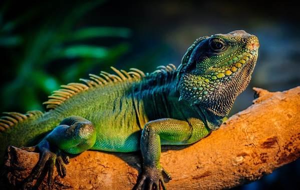 Виды-ящериц-Описание-особенности-среда-обитания-и-названия-видов-ящериц-15