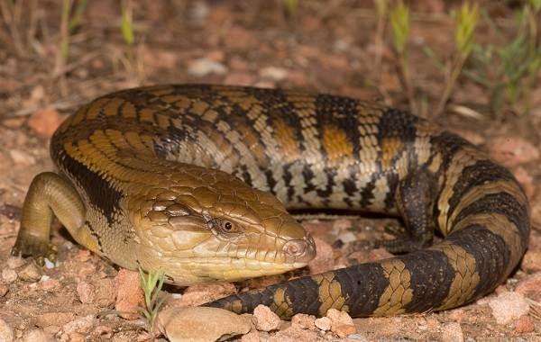 Виды-ящериц-Описание-особенности-среда-обитания-и-названия-видов-ящериц-18