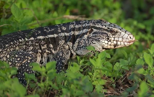 Виды-ящериц-Описание-особенности-среда-обитания-и-названия-видов-ящериц-19