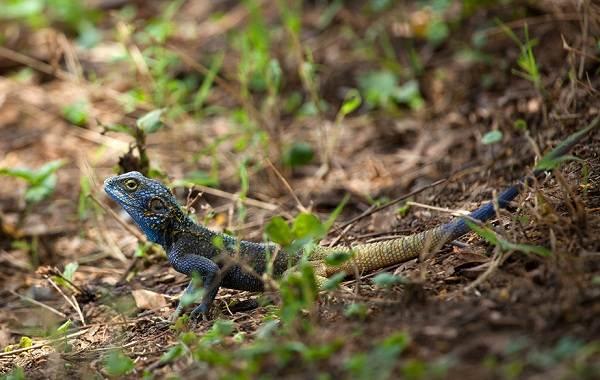 Виды-ящериц-Описание-особенности-среда-обитания-и-названия-видов-ящериц-26