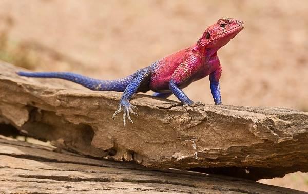 Виды-ящериц-Описание-особенности-среда-обитания-и-названия-видов-ящериц-30