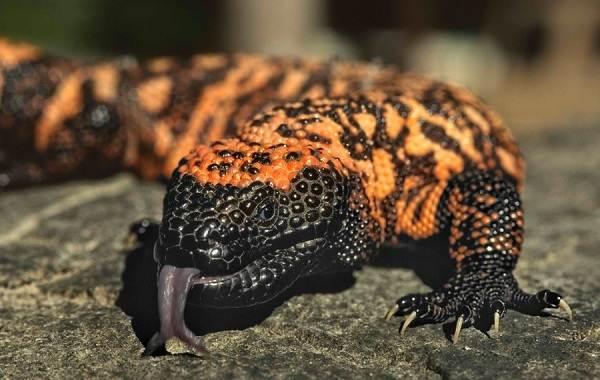 Виды-ящериц-Описание-особенности-среда-обитания-и-названия-видов-ящериц-35