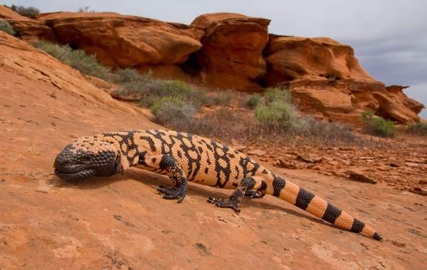 Виды-ящериц-Описание-особенности-среда-обитания-и-названия-видов-ящериц-36