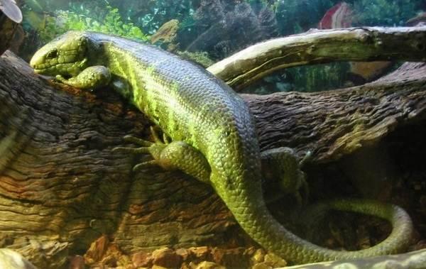 Виды-ящериц-Описание-особенности-среда-обитания-и-названия-видов-ящериц-39