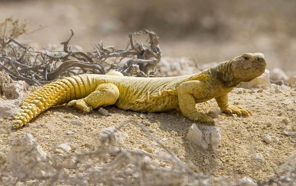 Виды-ящериц-Описание-особенности-среда-обитания-и-названия-видов-ящериц-5