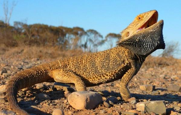 Виды-ящериц-Описание-особенности-среда-обитания-и-названия-видов-ящериц-6