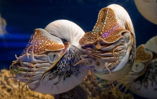 Головоногие-моллюски-Описание-особенности-виды-и-значение-головоногих-моллюсков-10