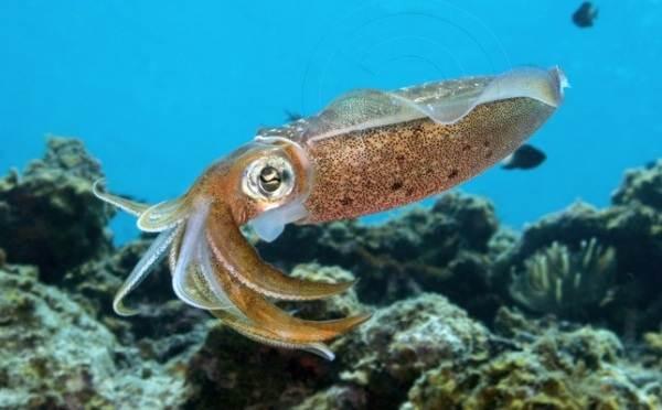 Головоногие-моллюски-Описание-особенности-виды-и-значение-головоногих-моллюсков-11