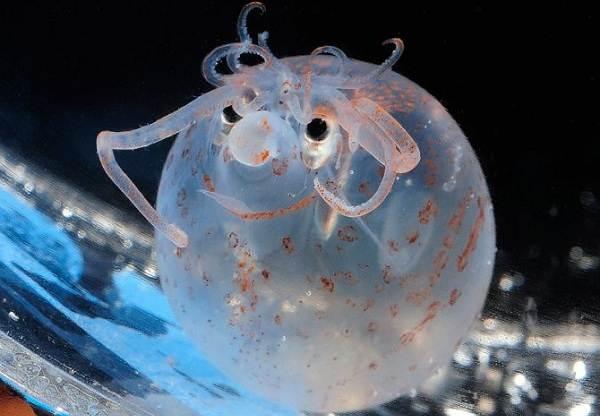 Головоногие-моллюски-Описание-особенности-виды-и-значение-головоногих-моллюсков-13