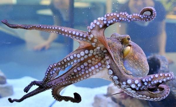 Головоногие-моллюски-Описание-особенности-виды-и-значение-головоногих-моллюсков-17