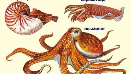 Головоногие моллюски. Описание, особенности, виды и значение головоногих моллюсков