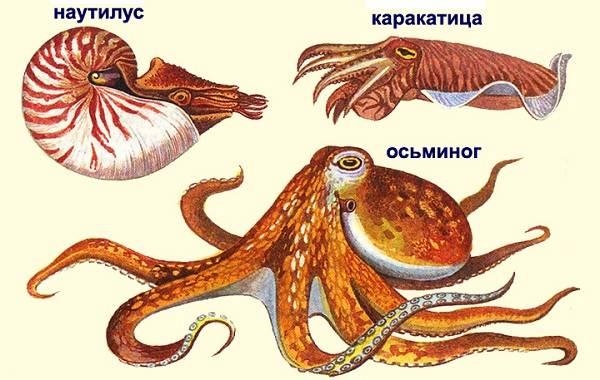Головоногие-моллюски-Описание-особенности-виды-и-значение-головоногих-моллюсков-20