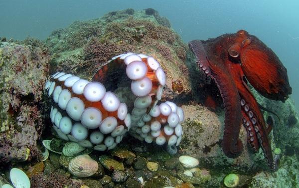 Головоногие-моллюски-Описание-особенности-виды-и-значение-головоногих-моллюсков-21