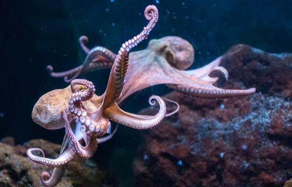 Головоногие-моллюски-Описание-особенности-виды-и-значение-головоногих-моллюсков-3