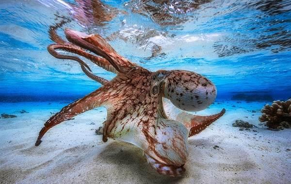 Головоногие-моллюски-Описание-особенности-виды-и-значение-головоногих-моллюсков-4
