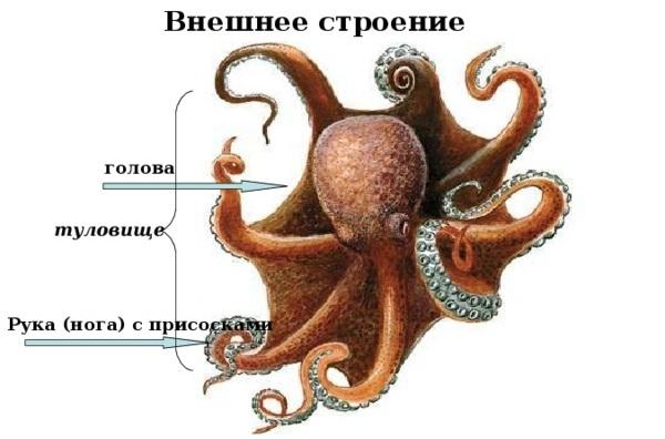 Головоногие-моллюски-Описание-особенности-виды-и-значение-головоногих-моллюсков-5