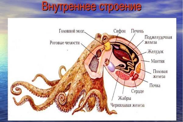 Головоногие-моллюски-Описание-особенности-виды-и-значение-головоногих-моллюсков-6