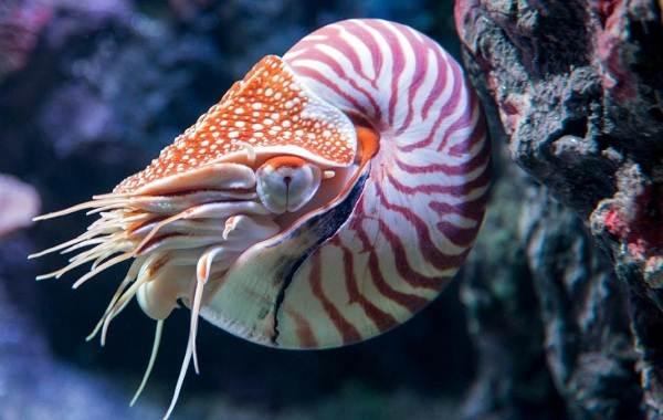 Головоногие-моллюски-Описание-особенности-виды-и-значение-головоногих-моллюсков-9
