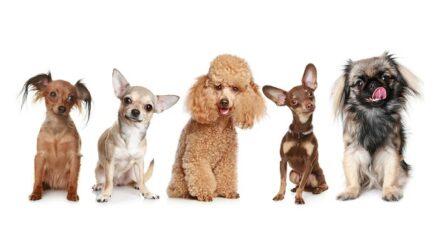 Маленькие породы собак. Описание, особенности, названия и виды маленьких собак
