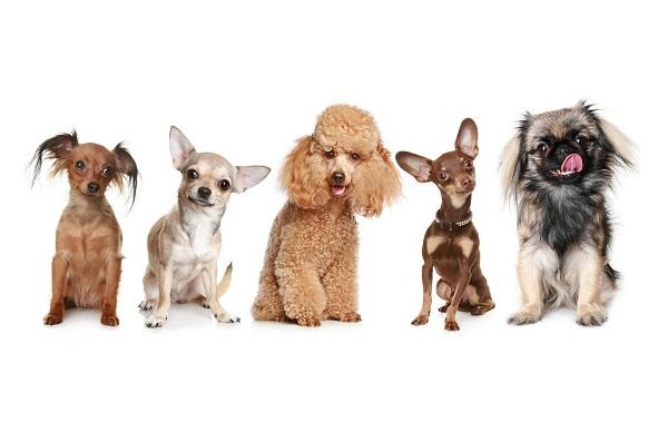 Маленькие-породы-собак-Описание-особенности-названия-и-виды-маленьких-собак-1