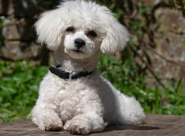 Маленькие-породы-собак-Описание-особенности-названия-и-виды-маленьких-собак-10