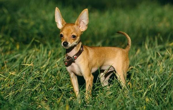 Маленькие-породы-собак-Описание-особенности-названия-и-виды-маленьких-собак-11