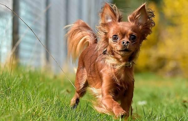 Маленькие-породы-собак-Описание-особенности-названия-и-виды-маленьких-собак-12